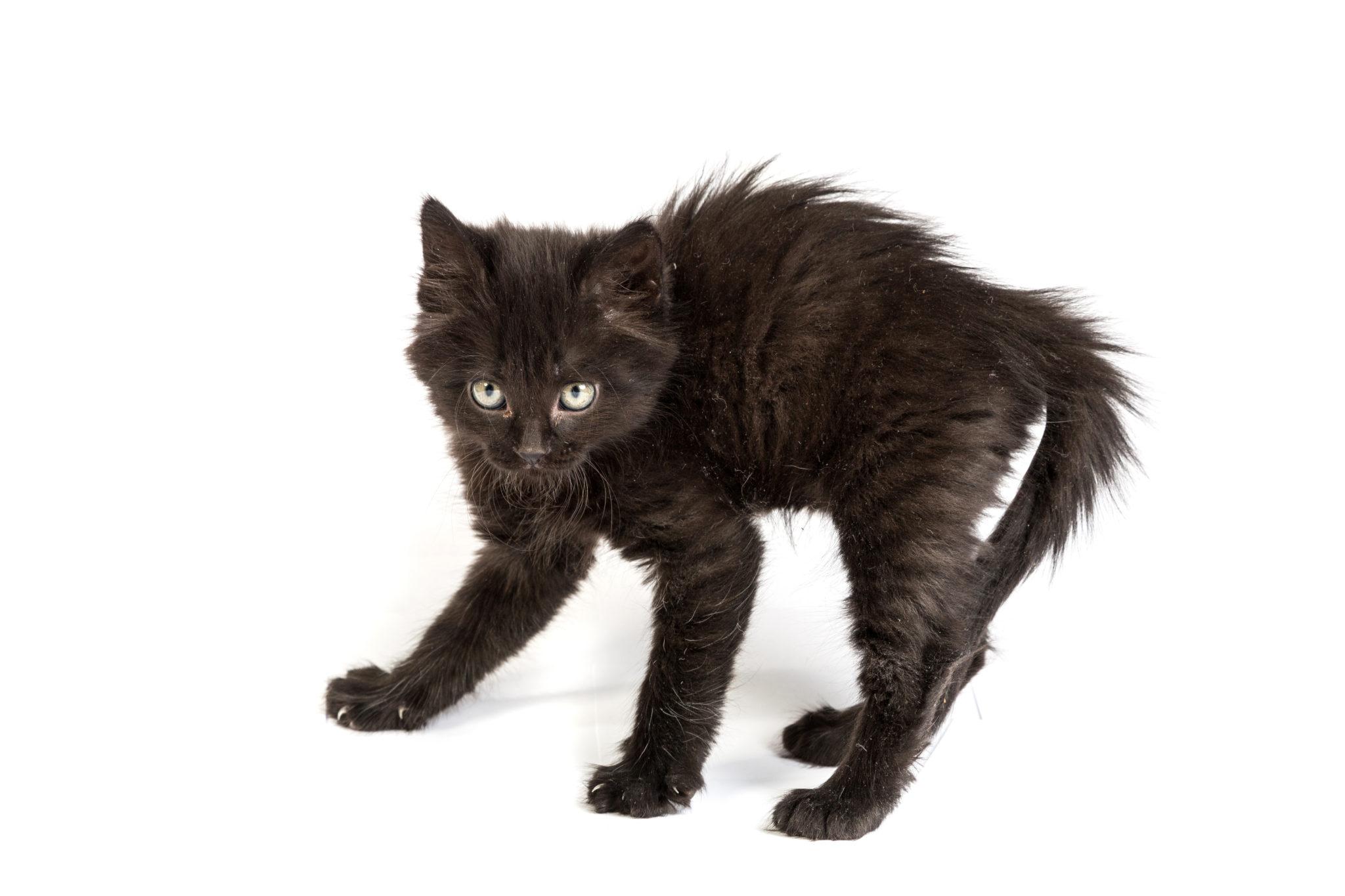 Chat noir joueur et chasseur