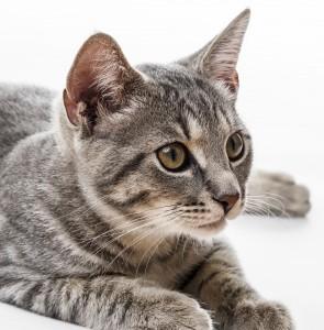 Un chat qui semble anxieux
