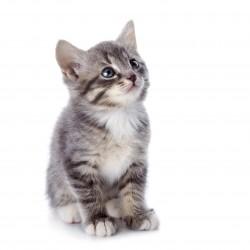 Attention à la déshydratation du chat