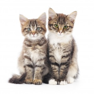 Deux chats tigrés