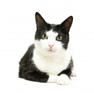 Un chat noir et blanc