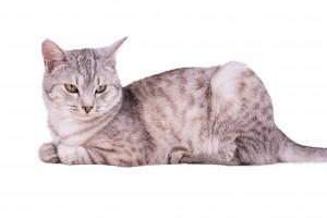 Santé du chat, vermifuge et produits anti puces