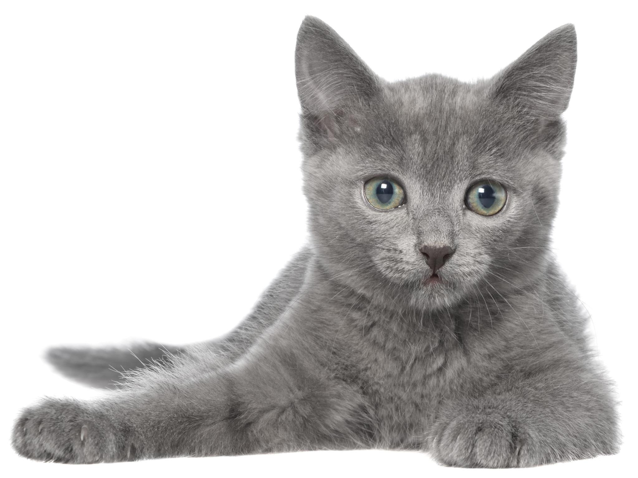 Chat gris magnifique