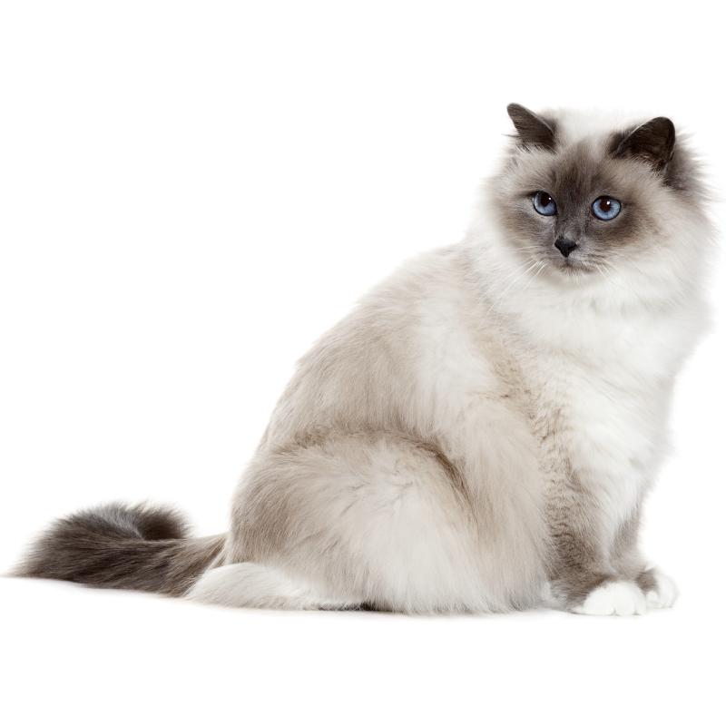 Le chat birman
