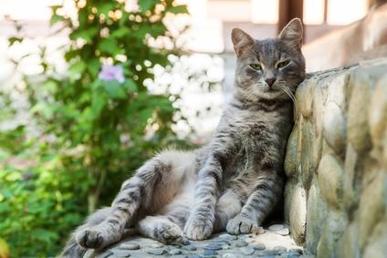 Le chat cherche de l'ombre en été
