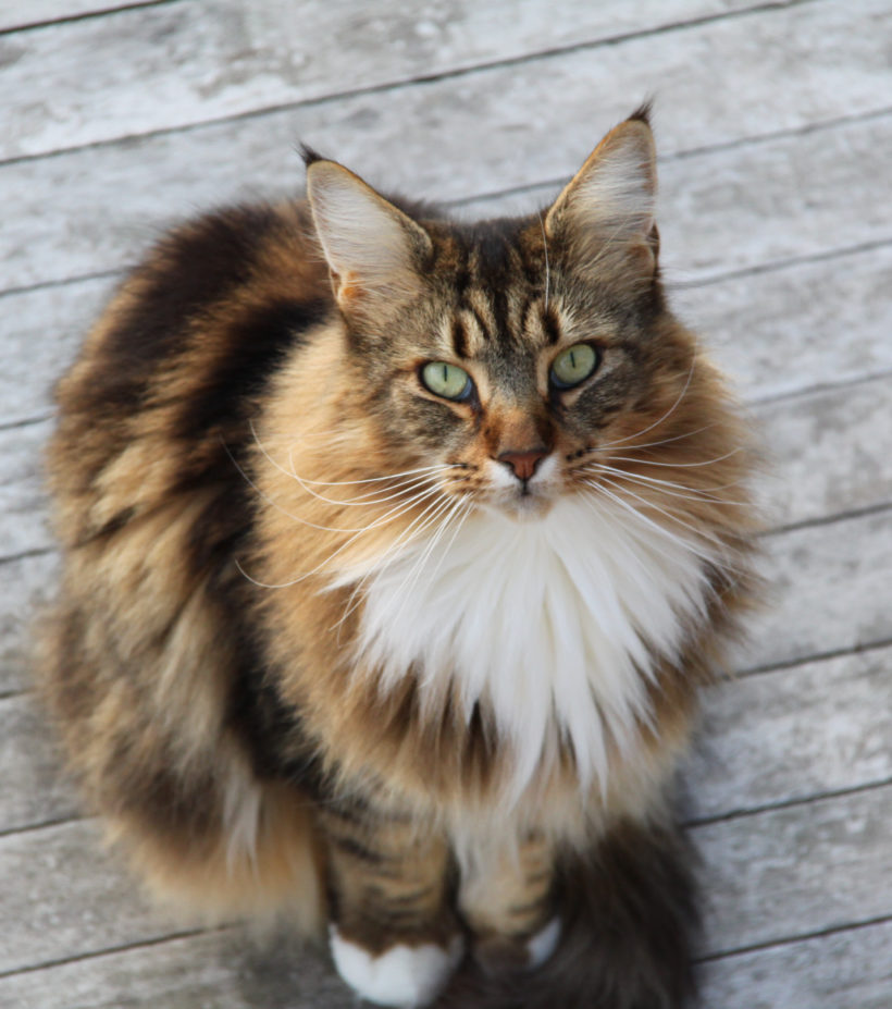 Le chat maine-coon