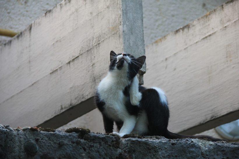 Le chat se gratte