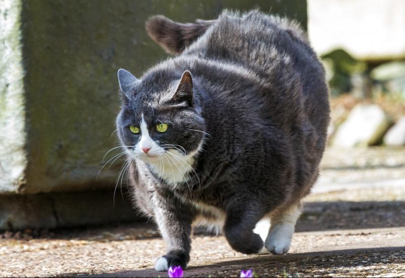 Chat en surpoids