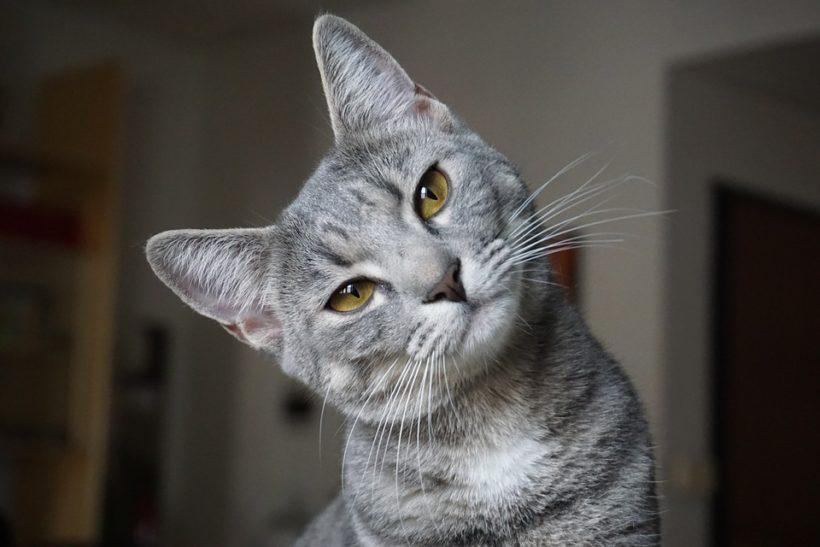 Sécurité du chat à la maison